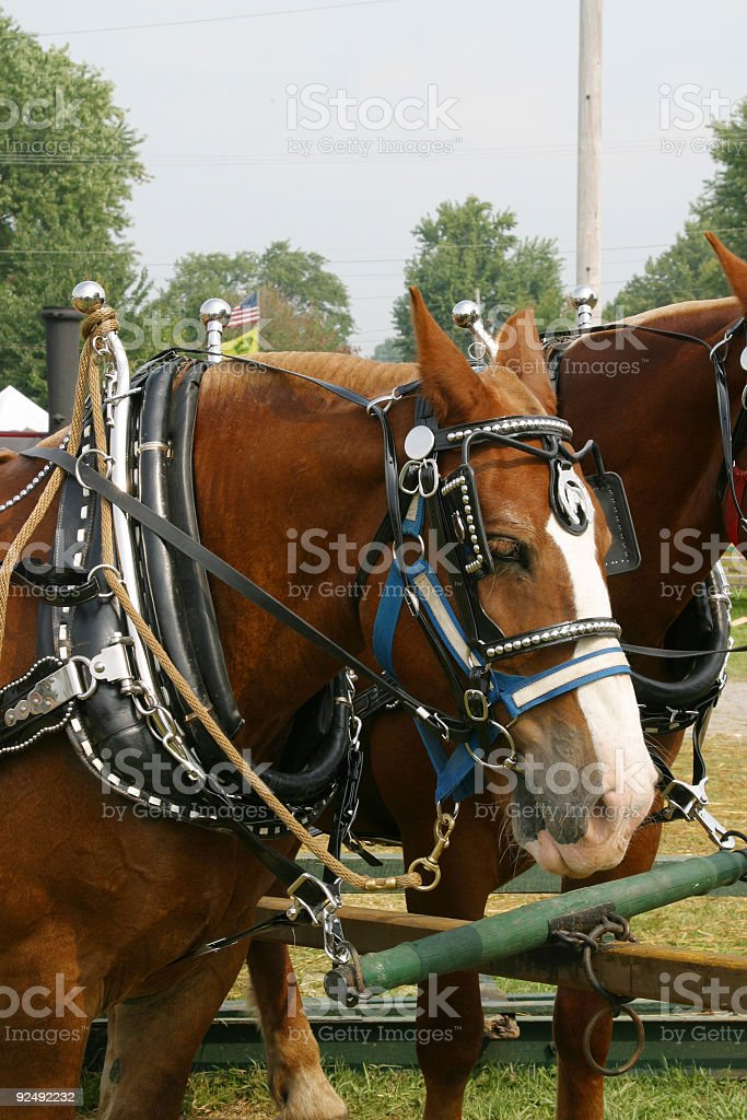 Work Horse in Harness royalty-free stock photo