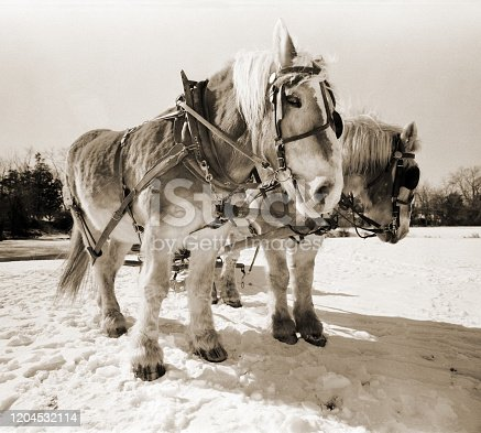 Work horse hauling ice during an ice harvest.