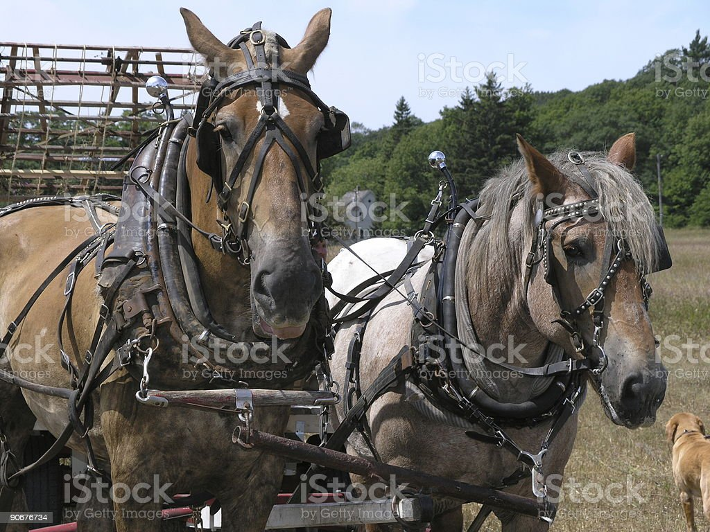 Work Horses On A Farm Stock Photo Download Image Now Istock