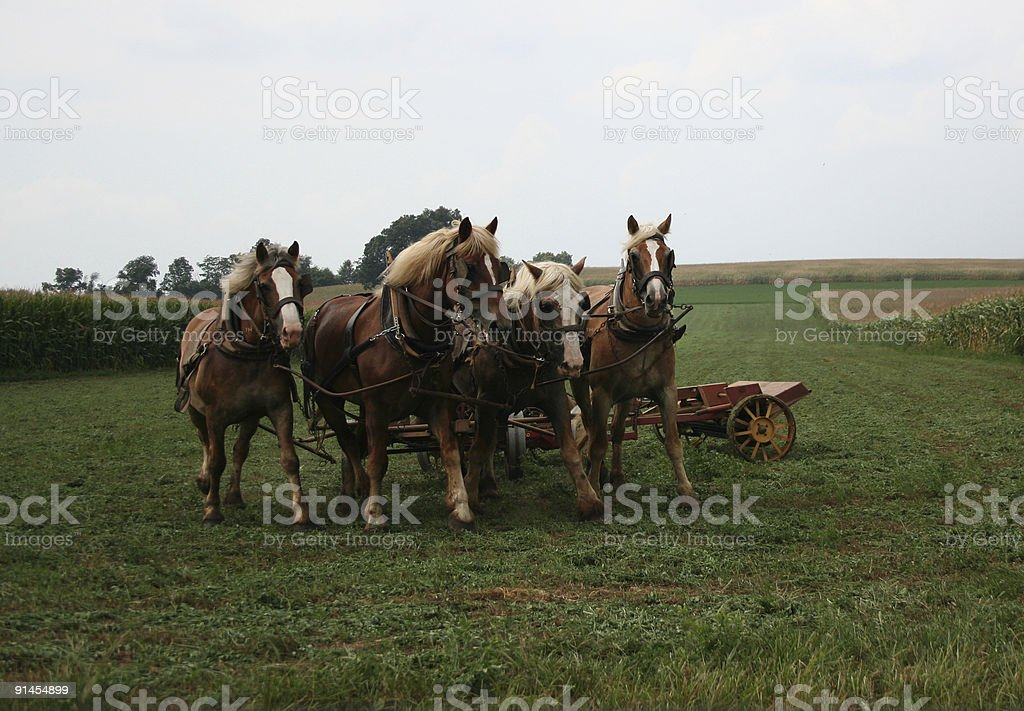 Work Horses Teamwork Harvesting Ethanol Corn Field Lancaster County Pennsylvania stock photo