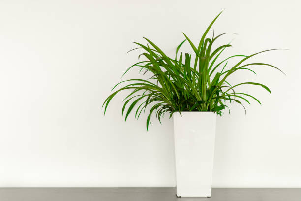 Work in a bright modern office space Green plant in a white pot in front of a white wall with a copy space in the office houseplant stock pictures, royalty-free photos & images