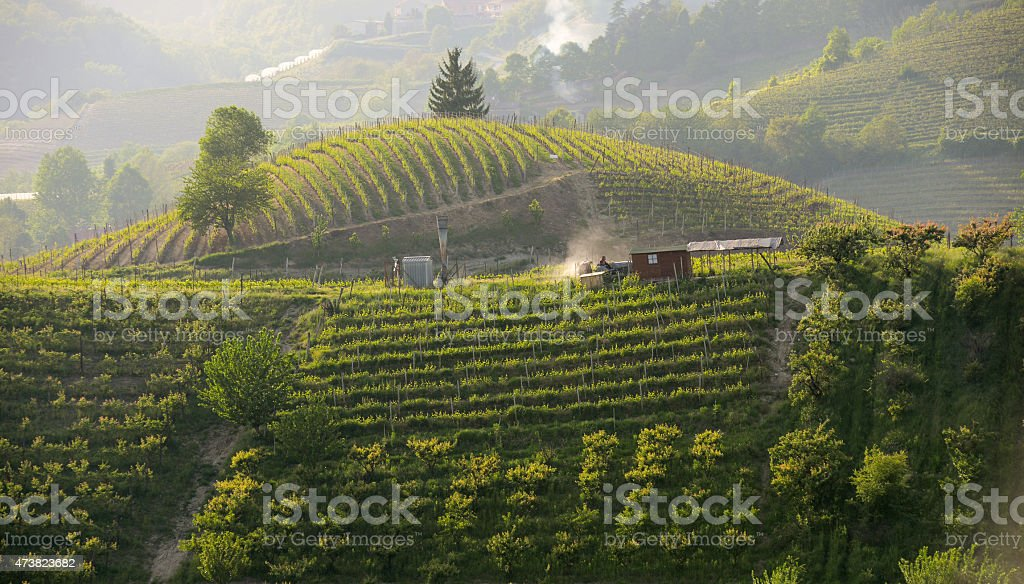 Work in the Vineyards in Langhe - Roero at sunset stock photo