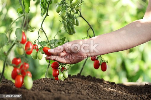 work in vegetable garden hand picking fresh tomatoes cherry from plants on soil, close up