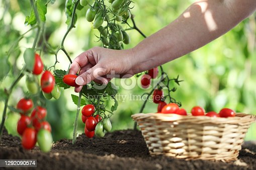 work in vegetable garden hand picking fresh tomatoes cherry from plants with full wicker basket on soil, close up