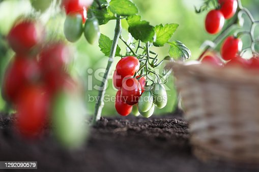 work in vegetable garden wicker basket full of fresh tomatoes cherry from plants on soil, close up