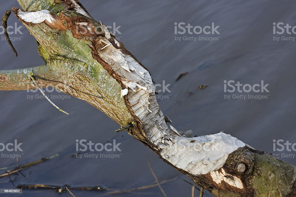 Work of a Beaver royalty-free stock photo