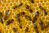 Bees build honeycombs and convert nectar in to honey.
