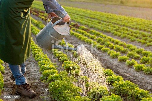 Women watering vegetables.
