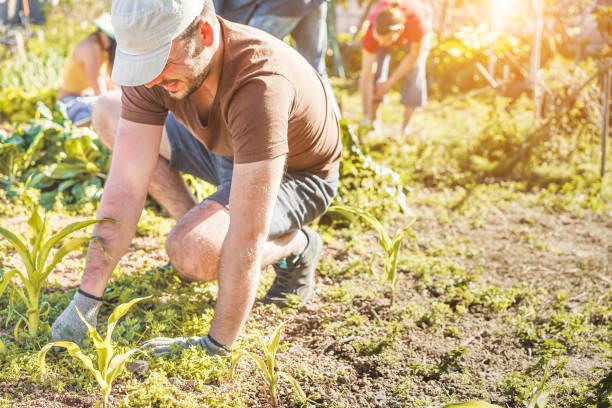 team di lavoro che raccoglie verdure fresche nell'orto della serra della comunità - agricoltori felici persone al lavoro raccogliendo cipolle e aglio biologici - concentrati sul cappello a testa - semina e concetto vegetariano - mercato luogo per il commercio foto e immagini stock