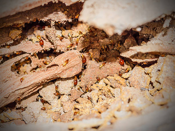 Worker and nasute termites on decomposing wood Worker and nasute termites on decomposing wood stock photo isoptera stock pictures, royalty-free photos & images