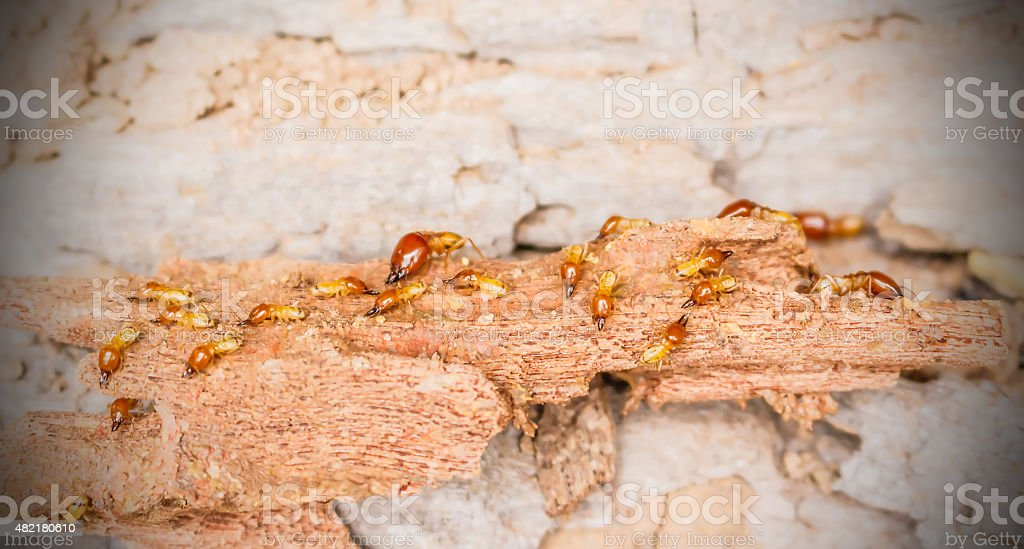 Worker and nasute termites on decomposing wood stock photo