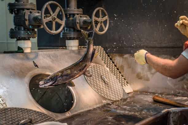 Worker at a fish hatchery throwing a chinook salmon down a sorting tube stock photo