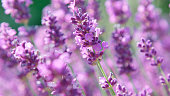 CLOSE UP Light summer breeze in beautiful violet field of lavender. Hardworking bee flying from blossom to blossom collecting honey. Stunning lilac herb garden sprouting in sunlit Provence
