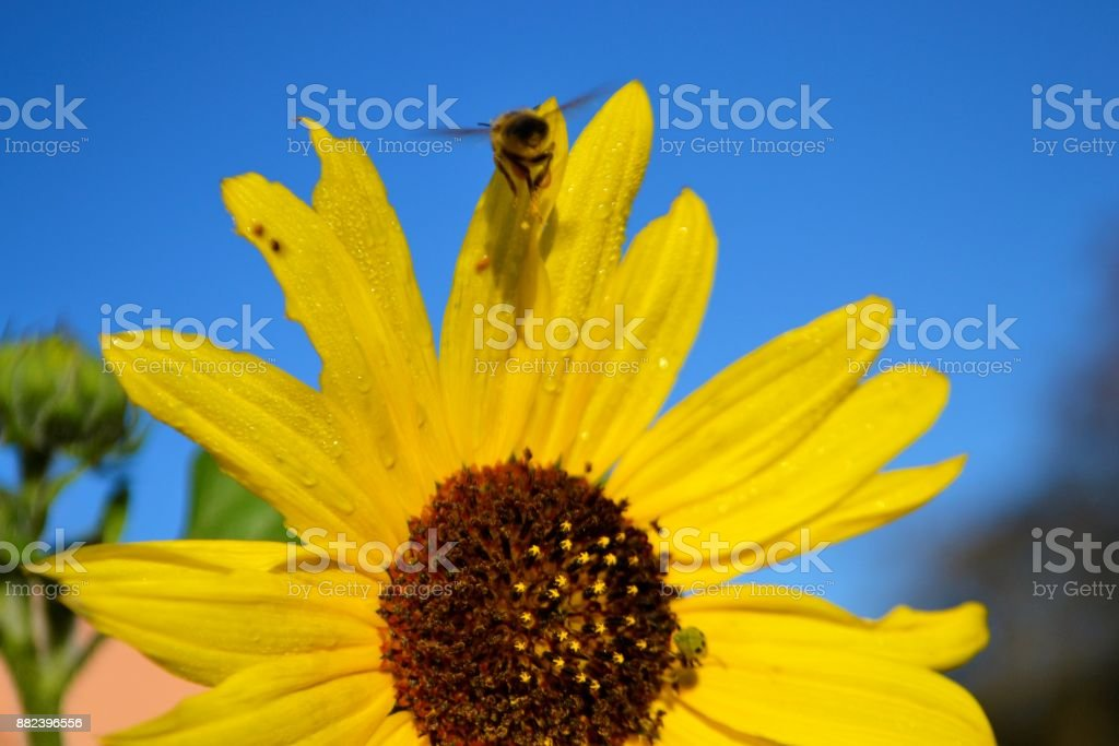 A Worker Bee in flight & possilbe newly discovered insect on a sunflower stock photo