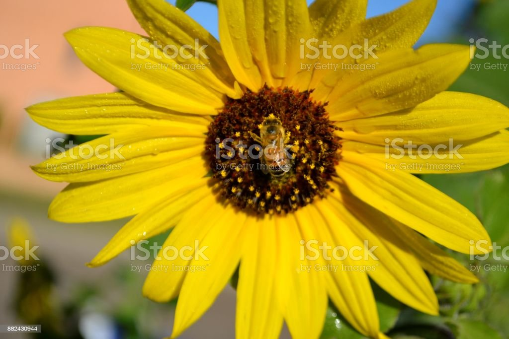A worker bee on a sunflower stock photo