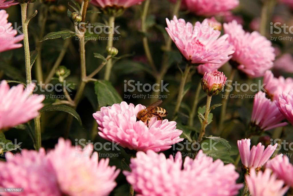 Worker bee . royalty-free stock photo