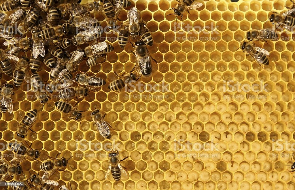 Worker bees hard at work within the beehive royalty-free stock photo