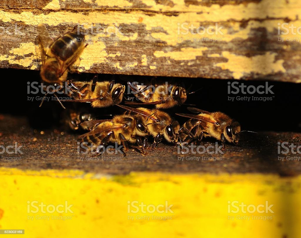 Worker bees in the hive entrance stock photo