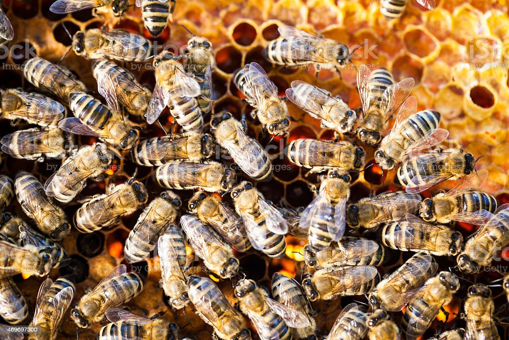 Worker bees swarming on honeycomb stock photo