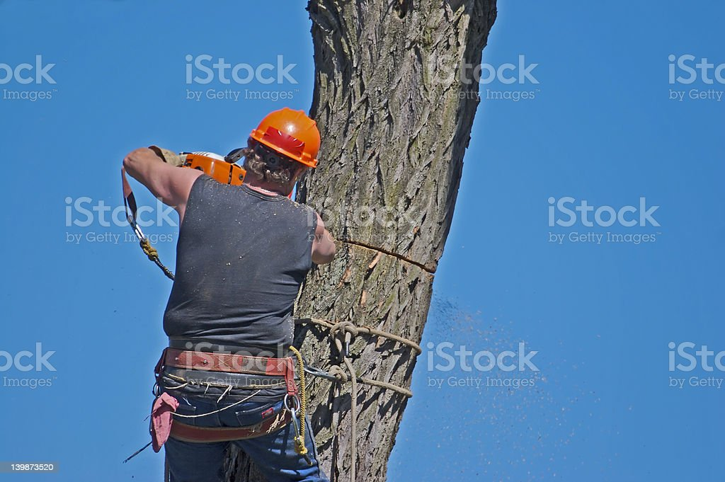 Worker in harness cutting tree with a chainsaw royalty-free stock photo
