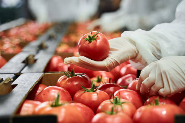 Worker in latex gloves inspecting a red tomato stock photo
