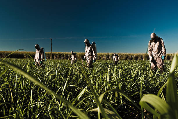 Worker in the Sugar Cane Field Worker applying pesticides and chemicals on the sugar cane field of São Francisco Valley, Minas Gerais State. monoculture stock pictures, royalty-free photos & images