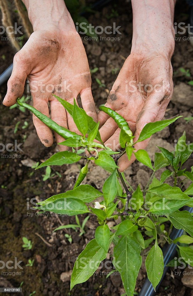 Worker inspecting green cayenne hot pepper fruit royalty-free stock photo