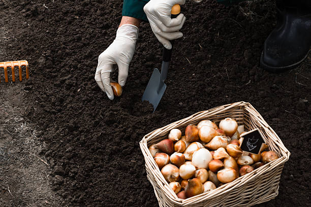 Worker is planting tulip bulbs in the soil Worker is planting tulip bulbs in the soil in the flowerbed, gardening  and agriculture concept plant bulb stock pictures, royalty-free photos & images