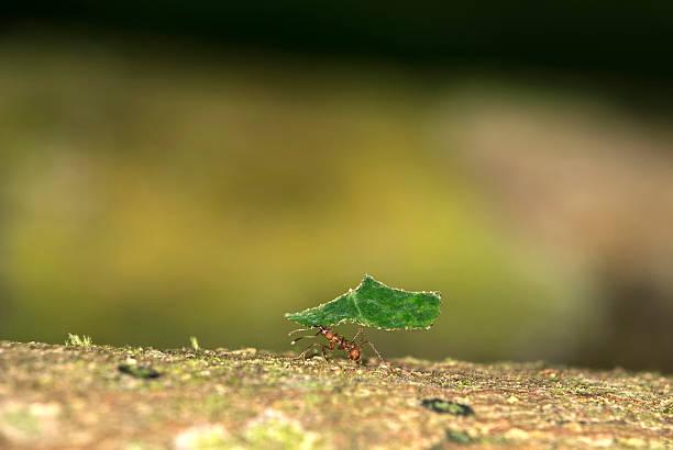 Arbeiter der leafcutter Ameisen (mit Ergometer verbunden, cephalotes – Foto