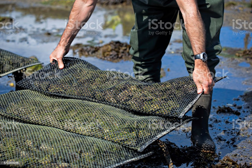 Worker on the oyster farm stock photo