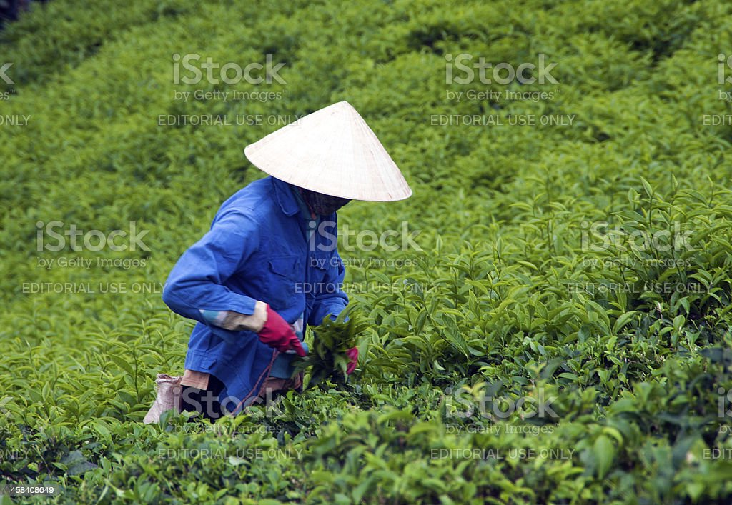 Worker pick tea leaves at  plantation royalty-free stock photo