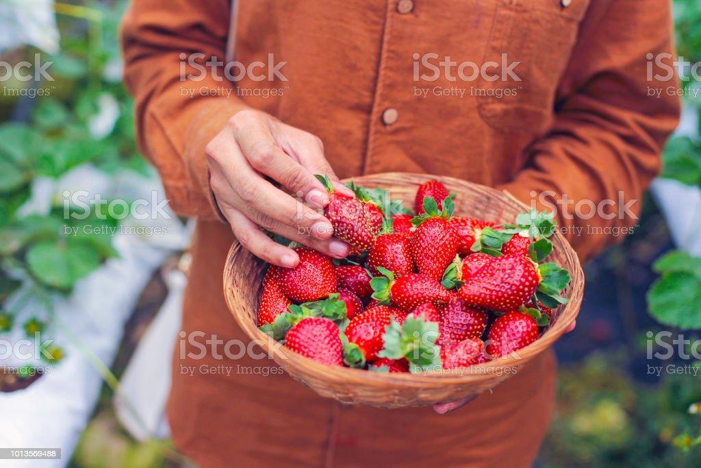 Ein Arbeiter Kommissionierung einer frischen Erdbeere auf Bauernhof – Foto