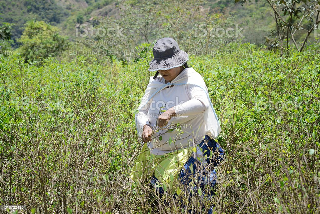 Worker  pulls ripe coca leaves off a tree during a harvest stock photo