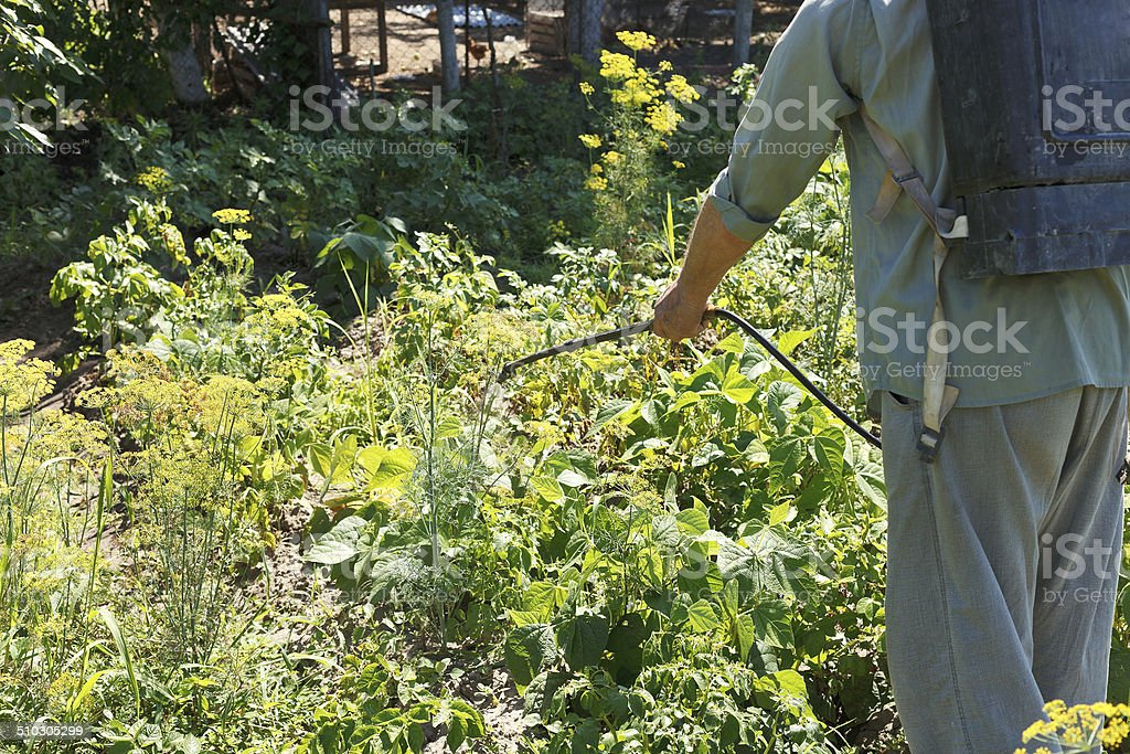 worker sprays pesticide on potato plantation stock photo