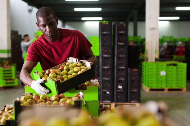 Arbeiter stapeln Kisten mit Birnen – Foto