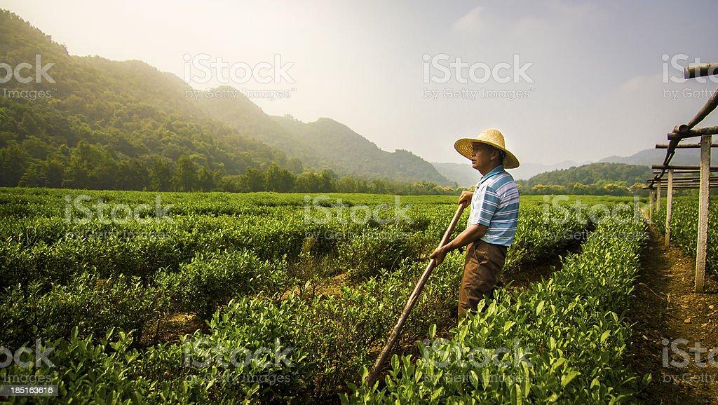 Worker Standing in Longjing Tea Field stock photo