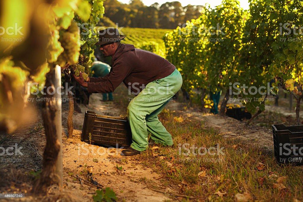 Worker working in vineyard stock photo