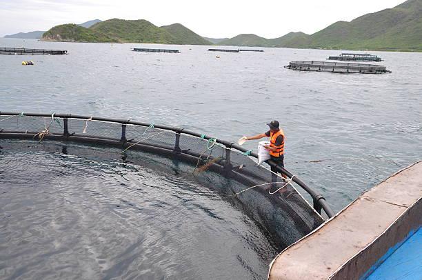 Los trabajadores están alimentando a barramundi máquina de pescado - foto de stock