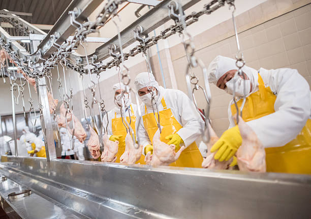 Workers at a food factory Workers at a food factory doing quality control con chickens poultry stock pictures, royalty-free photos & images