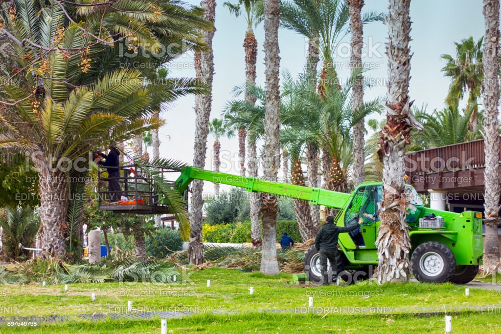 Workers cut and clean leaves of palms in tourist area of Paphos. stock photo