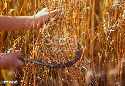 worker's hands hold rusty metal sickle mows Golden ripe ears of wheat in agricultural work on the farm