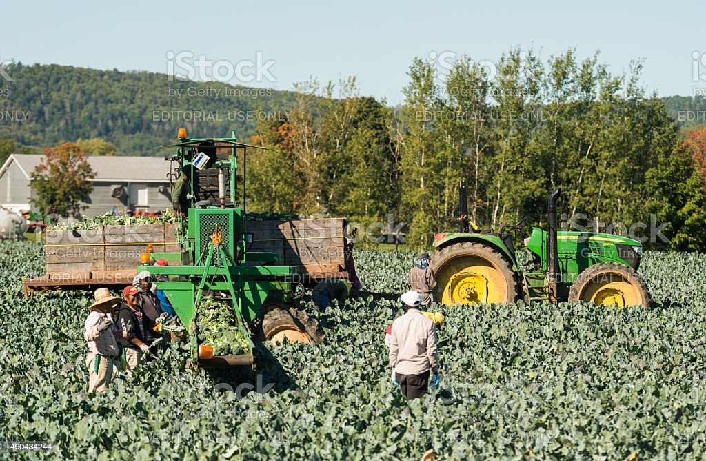 Workers Harvest Broccoli stock photo