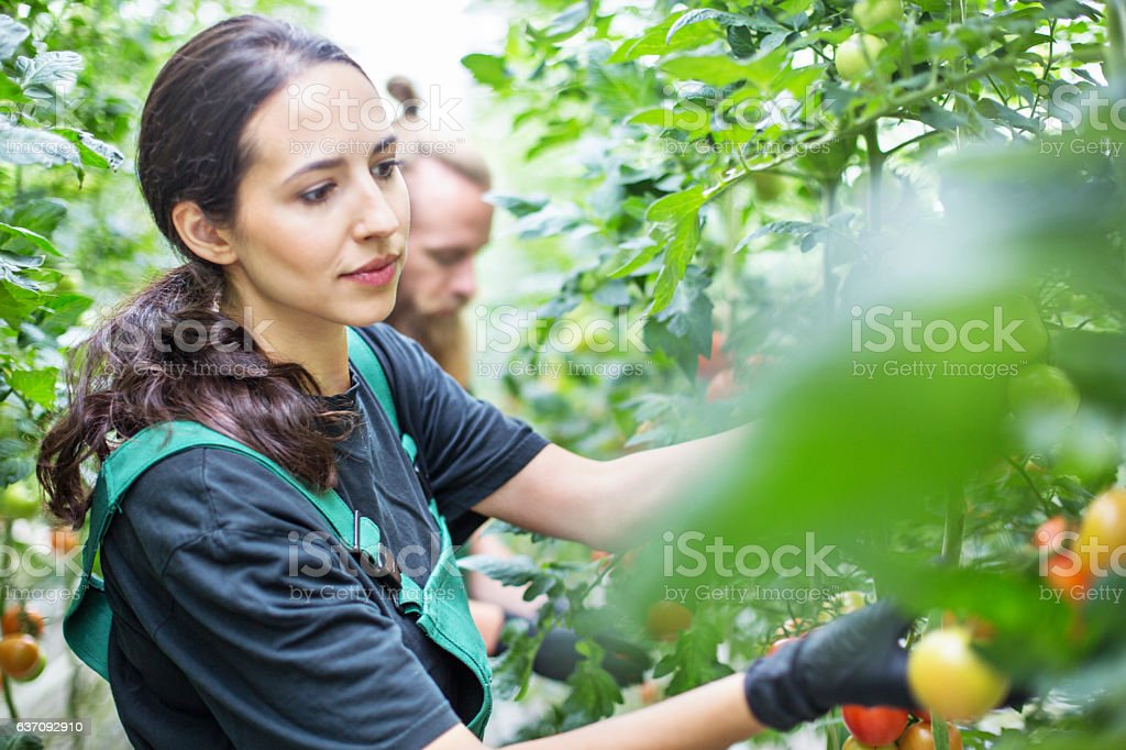 Workers harvesting tomatoes in greenhouse stock photo