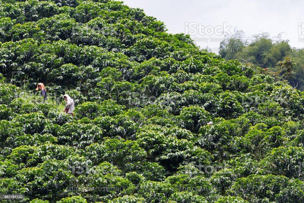 Workers hidden among Coffee Plants stock photo