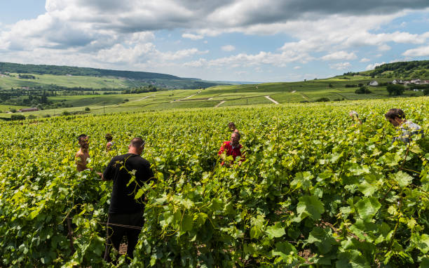 Workers in Vineyard Tincourt: Workers in the vineyard in Tincourt near  Epernay in the Champagne district Vallee de la Marne in France. epernay stock pictures, royalty-free photos & images