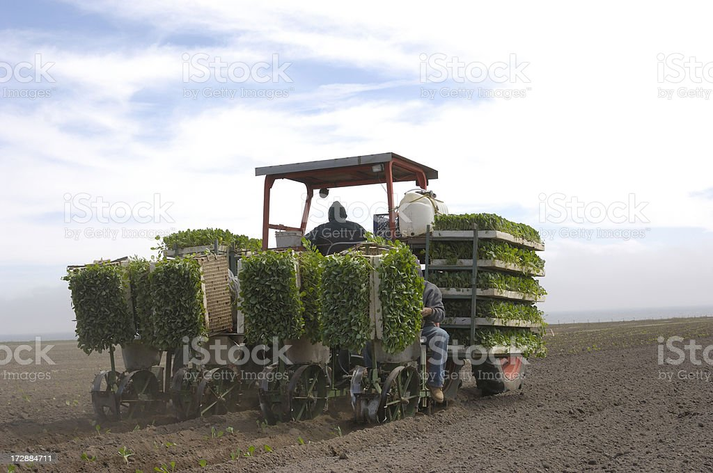 Workers Planting Brussels Sprouts. royalty-free stock photo