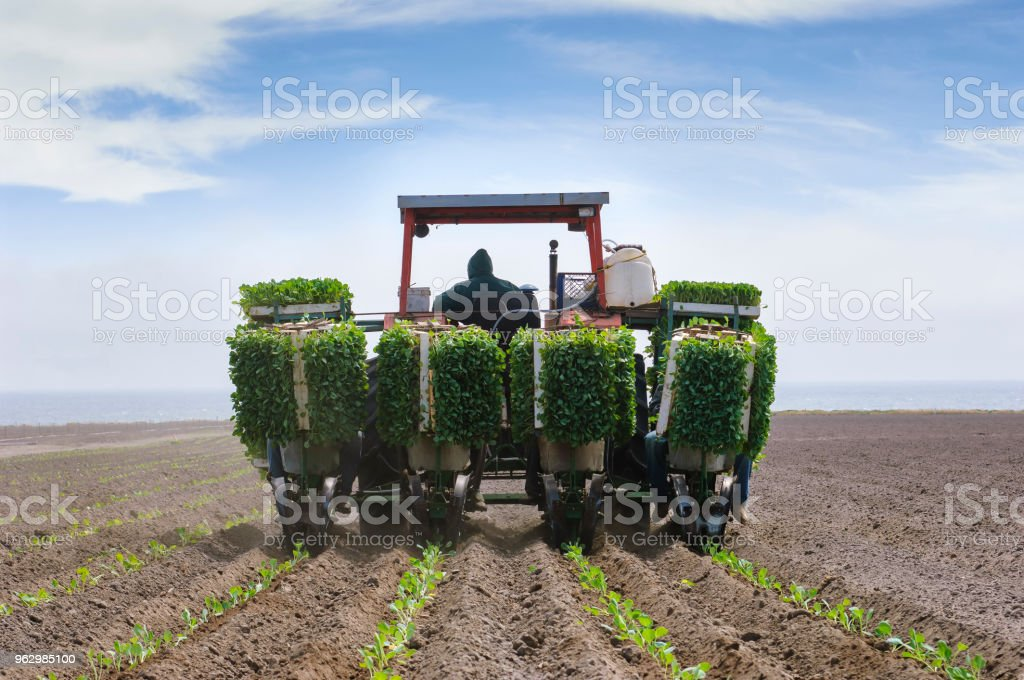 Workers Planting Brussels Sprouts Stock Photo - Download Image Now