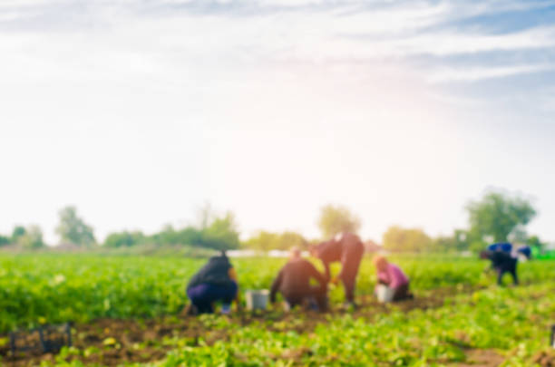 workers work on the field, harvesting, manual labor, farming, agriculture, agro-industry in third world countries, labor migrants, Family farmers. Seacional job. peasants dig up potatoes. blurred background Family farmers. Seacional job. Peasants farm worker stock pictures, royalty-free photos & images