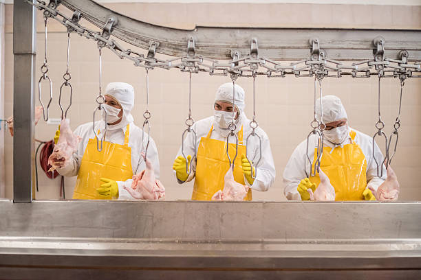 workers working at a chicken factory - poulet viande blanche photos et images de collection