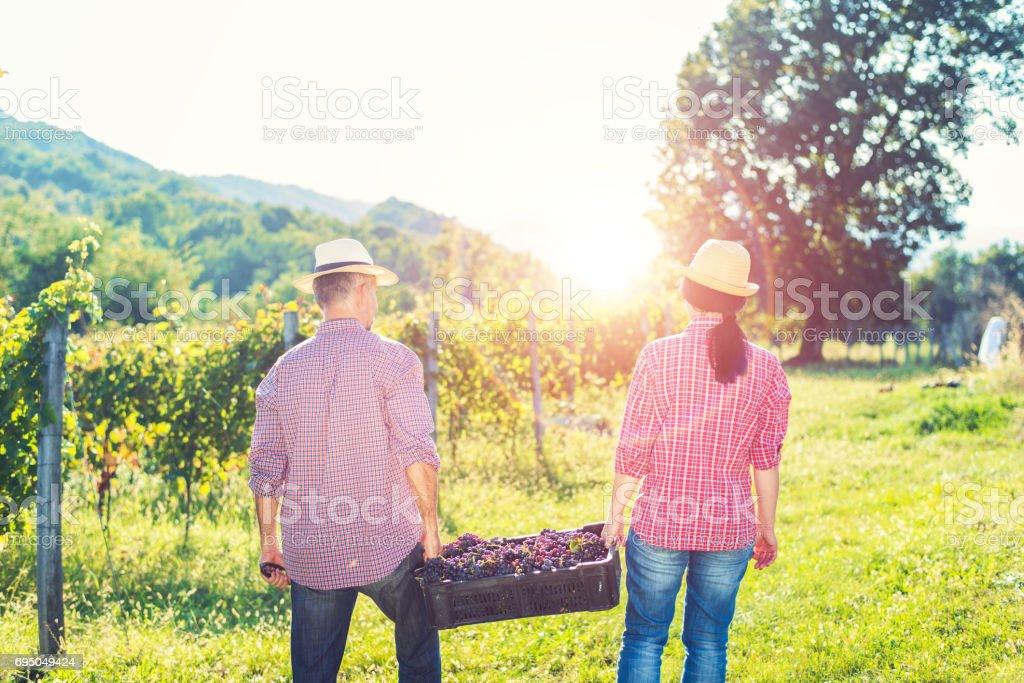 Workers working in vineyard stock photo